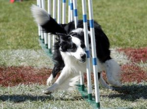 GRAY SUMMIT, MO - OCTOBER 4: Stollie makes his way through the weave poles during the agility portion of the Purina Dog Chow Incredible Dog Challenge at Purina Farms October 4, 2003 in Gray Summit, Missouri. (Photo by Bill Greenblatt/Getty Images)
